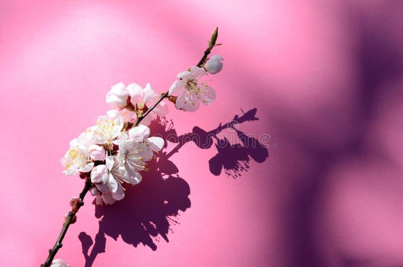 Macrodieschot van abrikozenbloesem door dauwdalingen wordt behandeld Bloemen op een rode achtergrond Mooie de lente seizoengebond royalty-vrije stock afbeeldingen