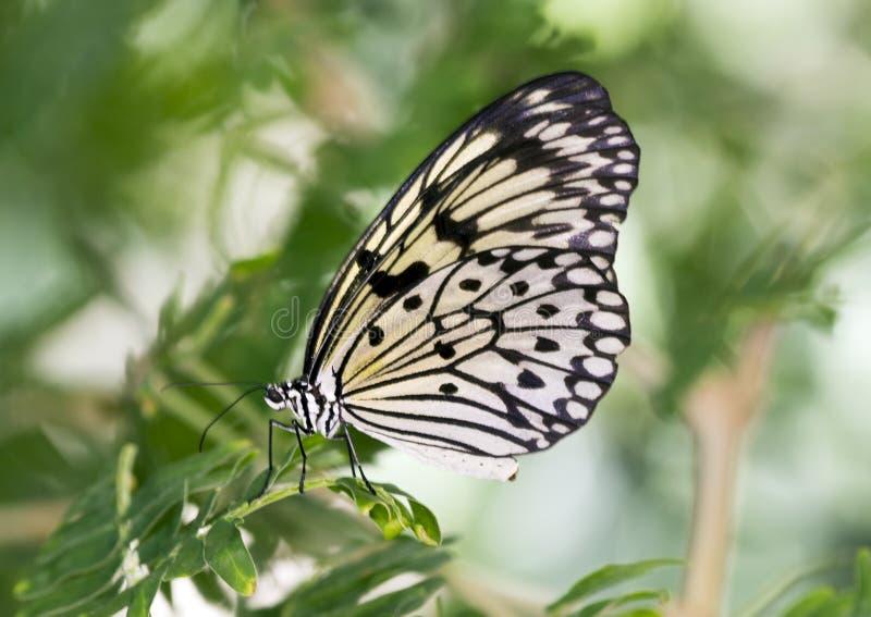Macrodocument Vliegervlinder royalty-vrije stock afbeeldingen