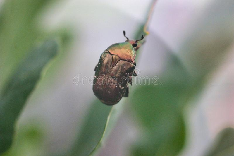 Green rose chafer royalty free stock images