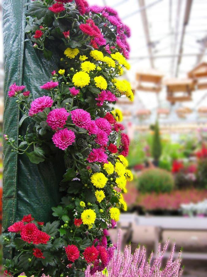 Macrofoto met decoratieve achtergrond van heldere kleurrijke die bloemen in serres voor industriële productie en verkoop in winke stock fotografie
