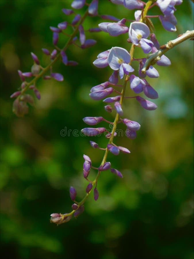 Macrofoto met een decoratieve textuur als achtergrond van gevoelige bloemen met bloemblaadjes van purpere kleur op de tak van een stock afbeelding