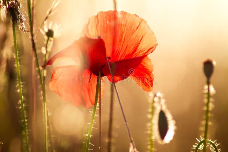 Macrofoto tegen backlight van rode bloem bij zonsondergang stock foto