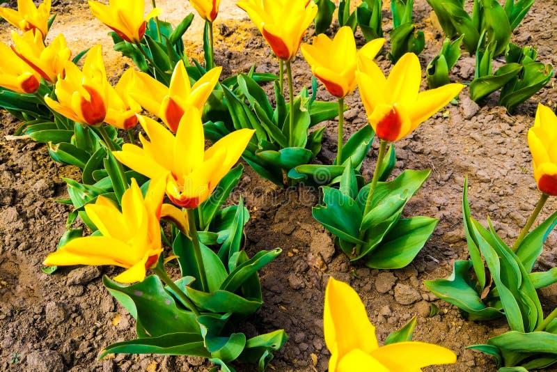 Macrofoto van aardrood met gele bloementulpen Achtergrond bloeiende bloementulpen met open knoppen royalty-vrije stock afbeelding