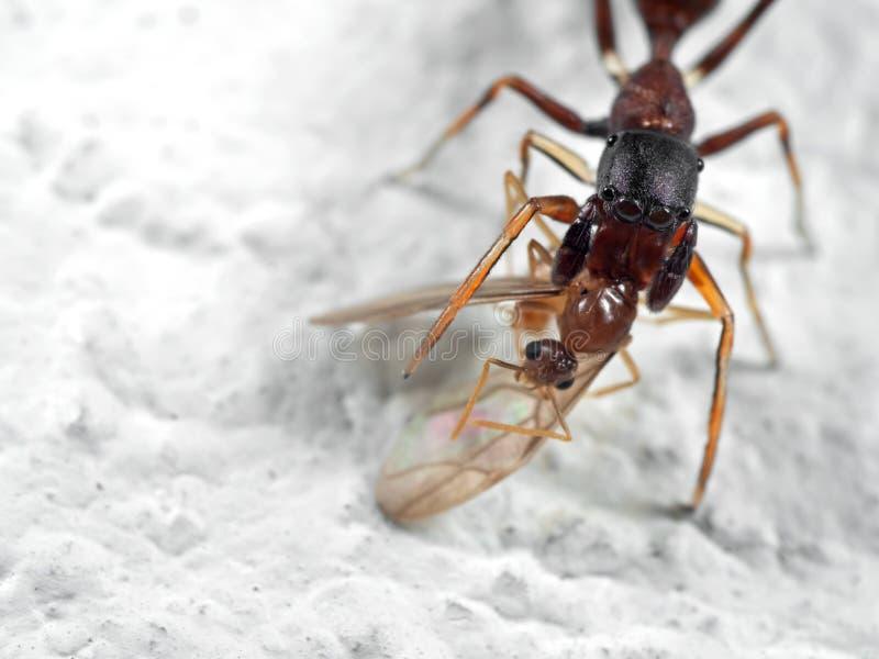 Macrofoto van Ant Mimic Jumping Spider Biting-onTorso van Prooi o stock fotografie