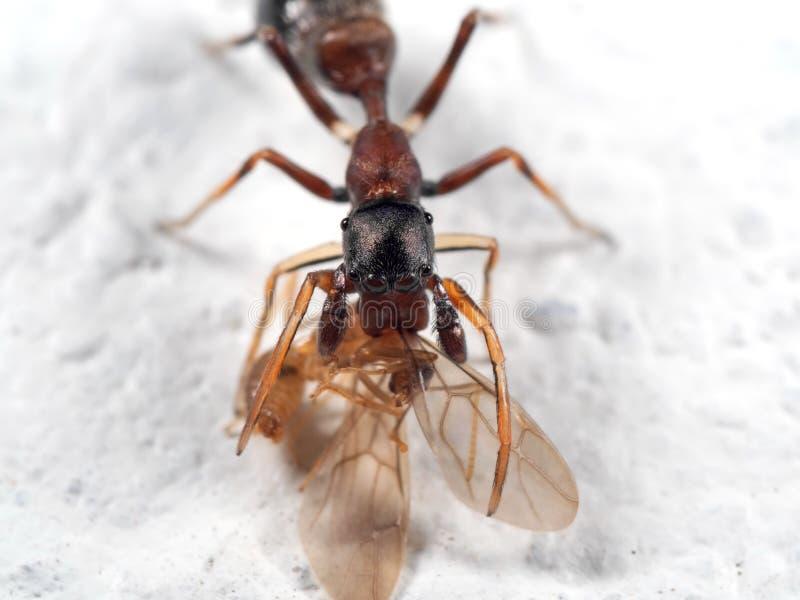 Macrofoto van Ant Mimic Jumping Spider Biting-onTorso van Prooi o stock foto