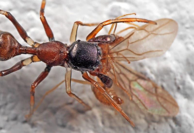 Macrofoto van Ant Mimic Jumping Spider Biting op Prooi op Wit stock afbeelding