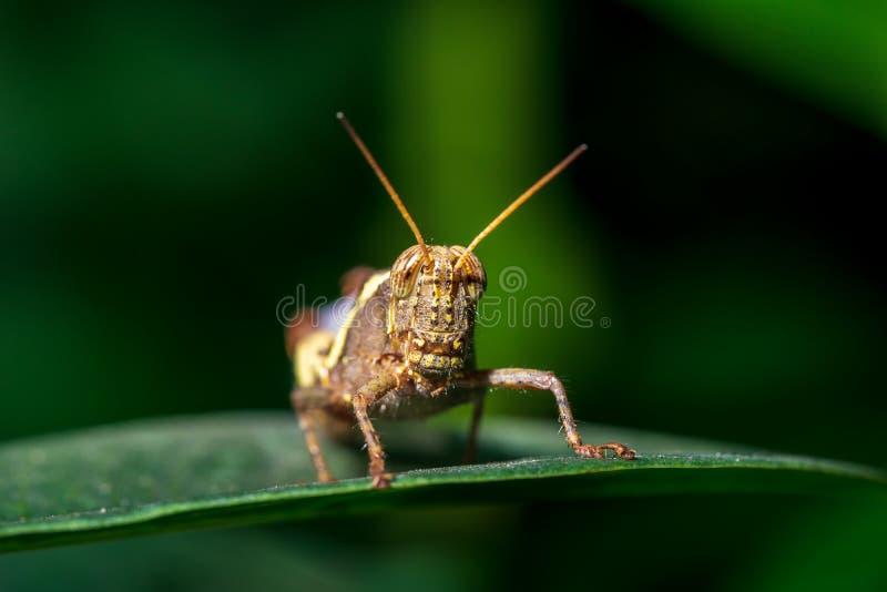 Macrofoto van de sprinkhaan op de groene bladachtergrond stock afbeeldingen