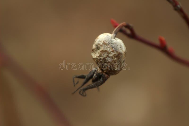 Macrofoto van droge rozebottel op een rode tak stock afbeelding
