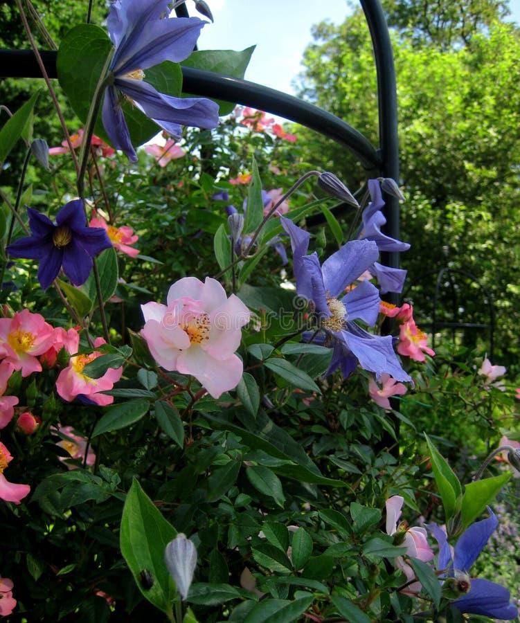 Macrofoto van een decoratief element van de culturele tuin met bloeiende klimplantenclematissen en struikrozen stock afbeeldingen