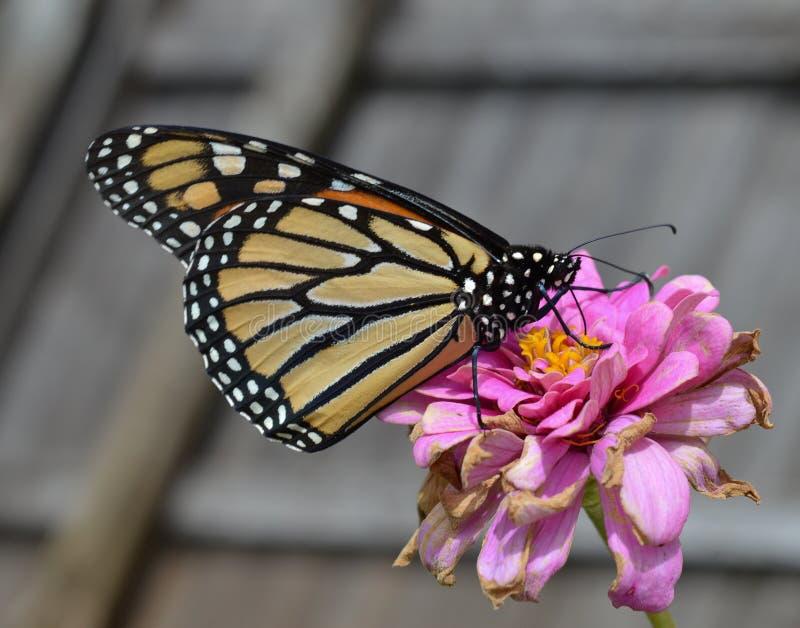 Macrofoto van een oranje, witte en zwarte monarchvlinder op een het sterven roze bloem royalty-vrije stock fotografie