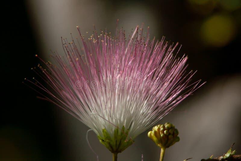 Macrofoto van een roze-witte exotische bloei royalty-vrije stock afbeeldingen