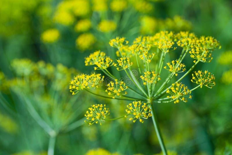 Macrofoto van gele dillebloemen royalty-vrije stock afbeeldingen
