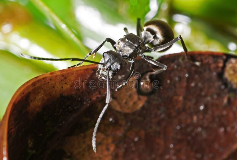 Macrofoto van Gouden Weaver Ant Climbing op Droog Blad stock foto's