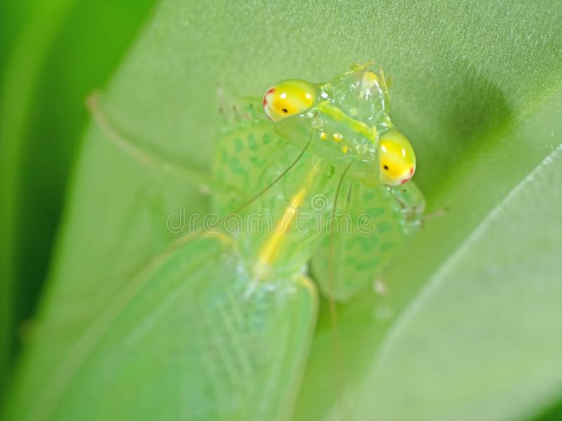 Macrofoto van Hoofd van Bidsprinkhanen op Groen Blad royalty-vrije stock fotografie