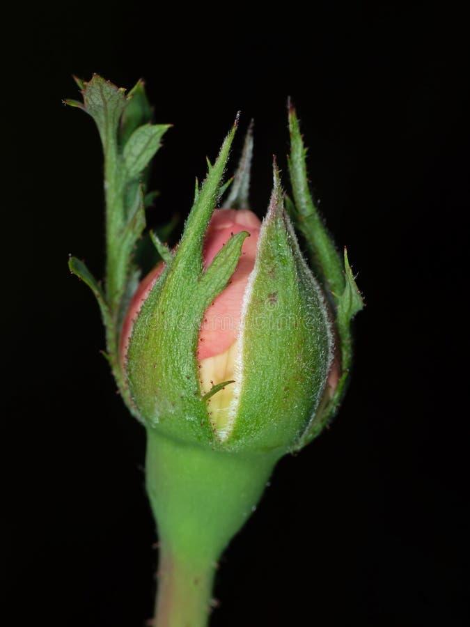 Macrofoto van Roze Rose Bud Isolated op Zwarte Achtergrond stock foto