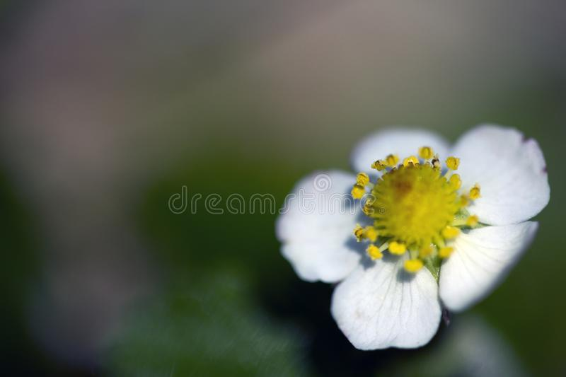 Macrofotografia del fiore della fragola di bosco immagine stock