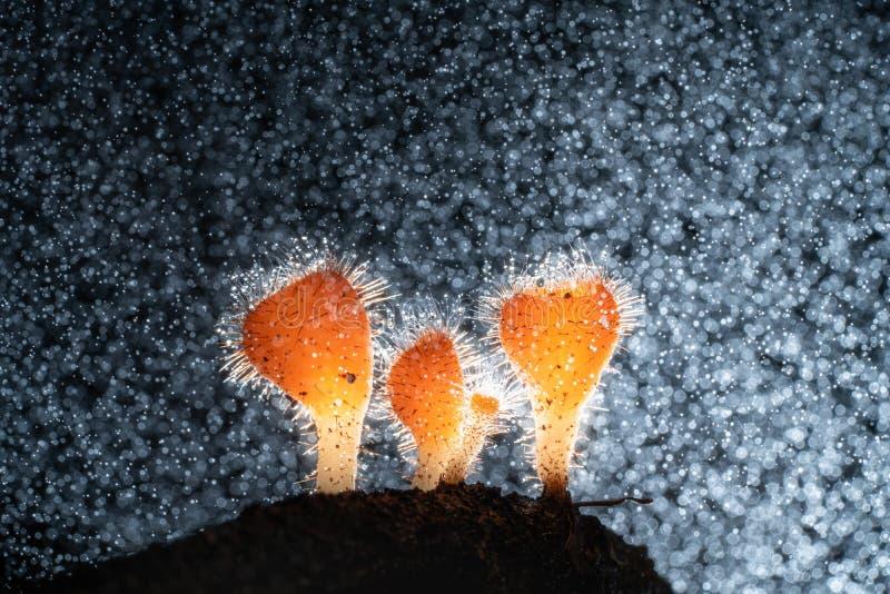 Macrofotografia del fungo di Cookeina in foresta pluviale, fungo arancio minuscolo di Cookeina immagini stock libere da diritti