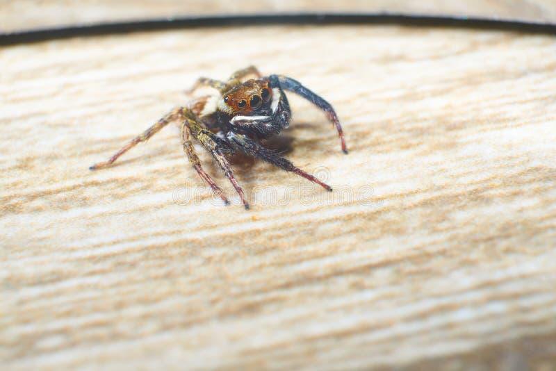 Macrofotografia di salto del ragno immagini stock