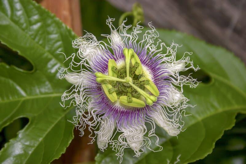 Macrofotografia di un fiore del frutto della passione fotografia stock