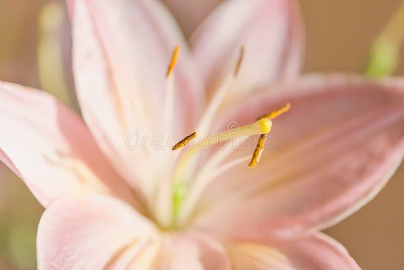 Macrofotografia di un frammento del fiore rosa del giglio con il foc immagini stock
