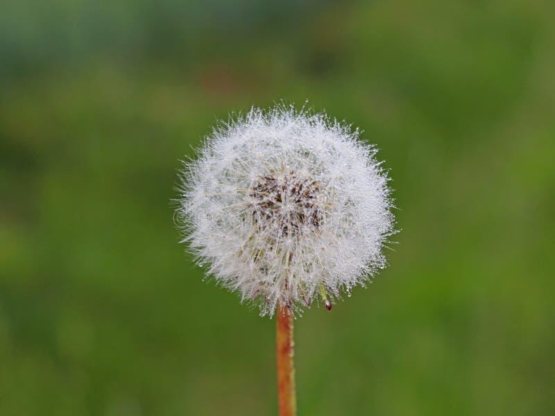 Macrofotografia di una palla bianca di un fiore del dente di leone su un fondo verde vago Fauna del clima temperato Piante verdi fotografia stock libera da diritti