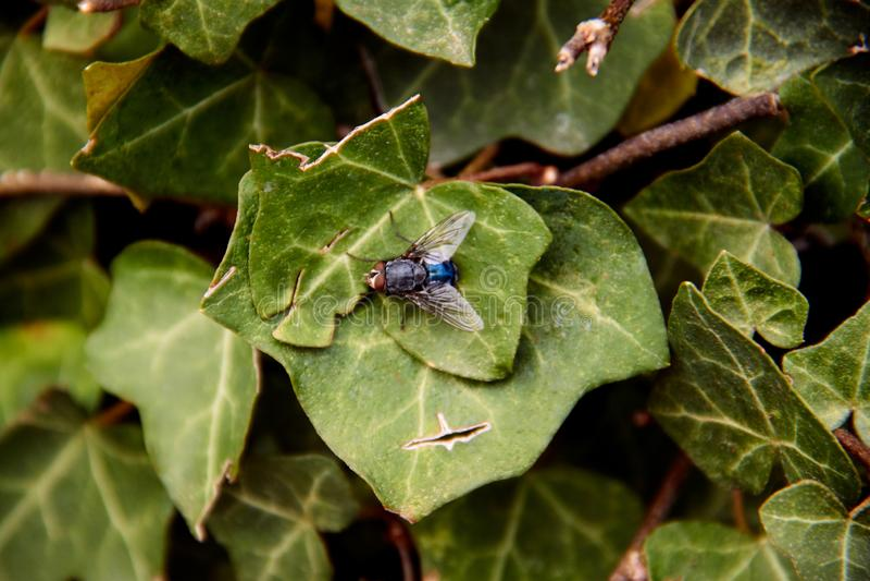 Macrofotografie van Blauwe Flessenvlieg op Groen Blad royalty-vrije stock fotografie