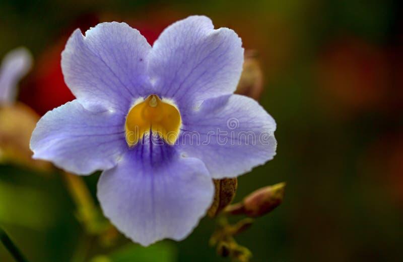 Macrofotografie van een bloem van de de Klokwijnstok van Bengalen stock afbeeldingen