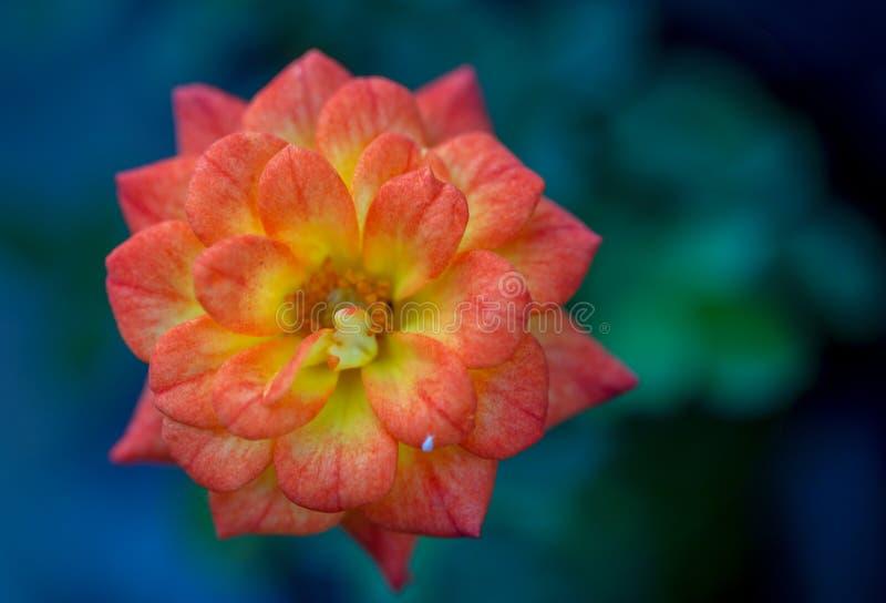 Macrofotografie van een oranje begoniabloem royalty-vrije stock afbeelding