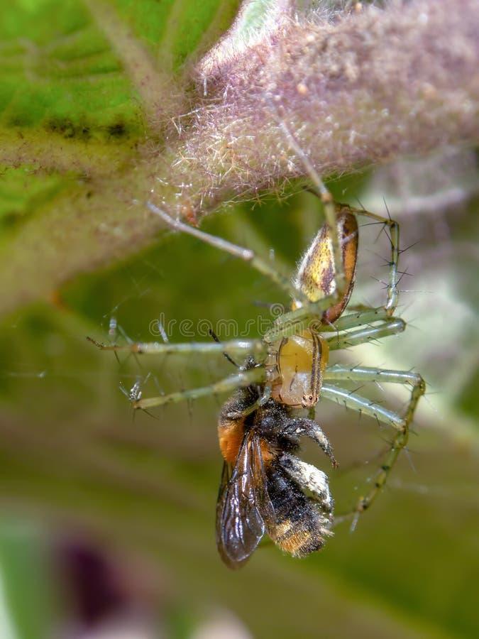 Macrofotografie van een tuinspin met een insect stock foto's