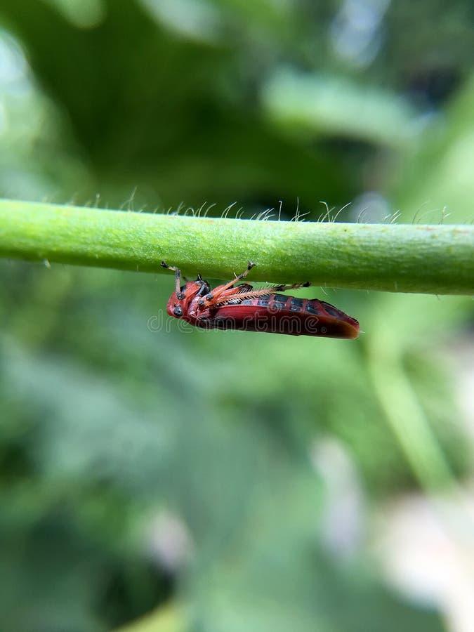 Macrofotografie van kleine babysprinkhaan op groen blad in het bos, Sprinkhaan een installatie-etend insect en blad met lange ach royalty-vrije stock foto