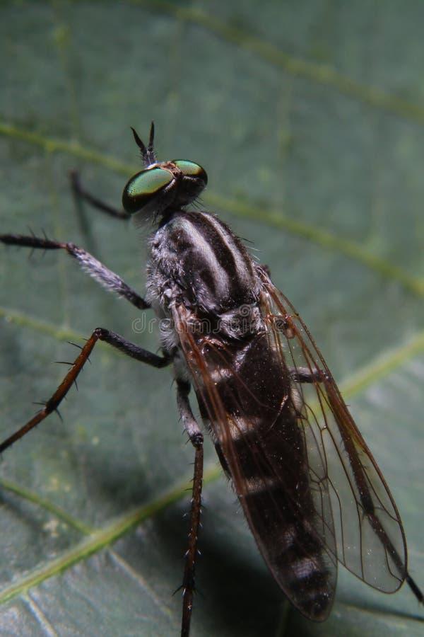 Macrofotografie van Oranje Roversvlieg die een insect jagen Wild aardroofdier op het groene die blad op groene bladachtergrond wo stock afbeelding