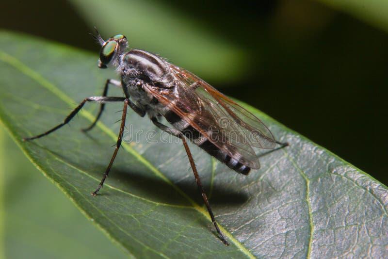 Macrofotografie van Oranje Roversvlieg die een insect jagen Wild aardroofdier op het groene die blad op groene bladachtergrond wo royalty-vrije stock foto's