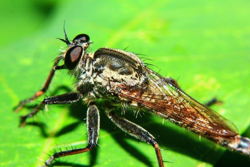 Macrofotografie van Oranje Roversvlieg die een insect jagen Wild aardroofdier op het groene die blad op groene bladachtergrond wo royalty-vrije stock fotografie