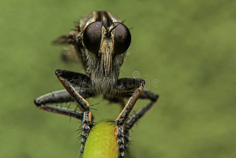 Macrofotografie van Oranje Roversvlieg die een insect jagen Wild aardroofdier op het groene die blad op groene bladachtergrond wo stock foto