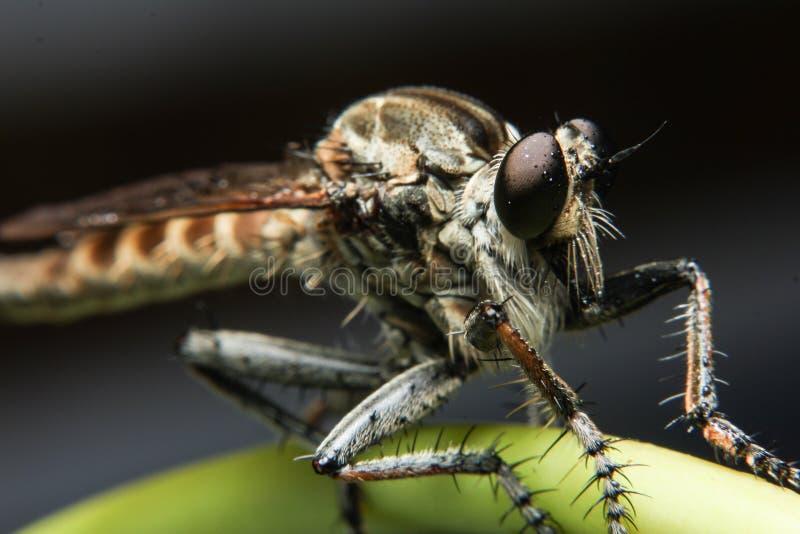 Macrofotografie van Oranje Roversvlieg die een insect jagen Wild aardroofdier op het groene die blad op donkere achtergrond wordt stock afbeeldingen