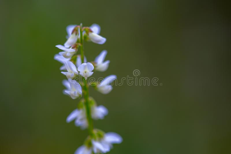 Macrofotografie van zeer uiterst kleine witte wildflowers stock afbeelding