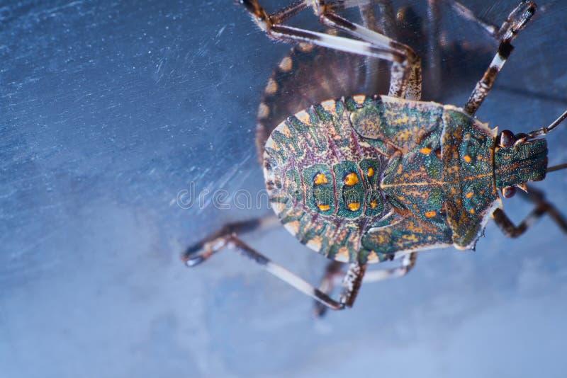 Macrofotography коричневых halys Halyomorpha stinkbug, инвазионный вид от Азии стоковые фото