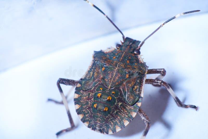 Macrofotography коричневых halys Halyomorpha stinkbug, инвазионный вид от Азии стоковое изображение rf