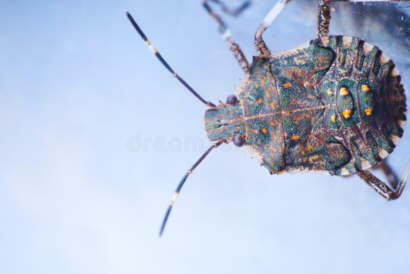 Macrofotography коричневых halys Halyomorpha stinkbug, инвазионный вид от Азии стоковые фотографии rf