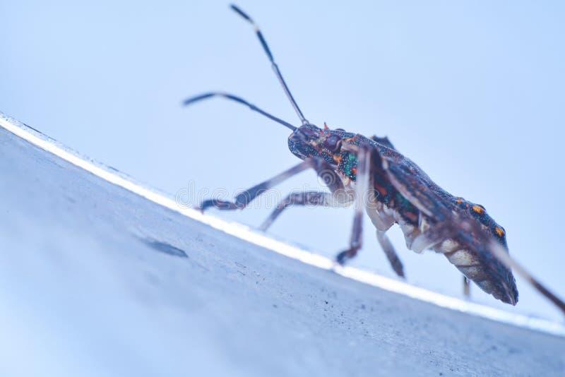 Macrofotography коричневых halys Halyomorpha stinkbug, инвазионный вид от Азии стоковое фото