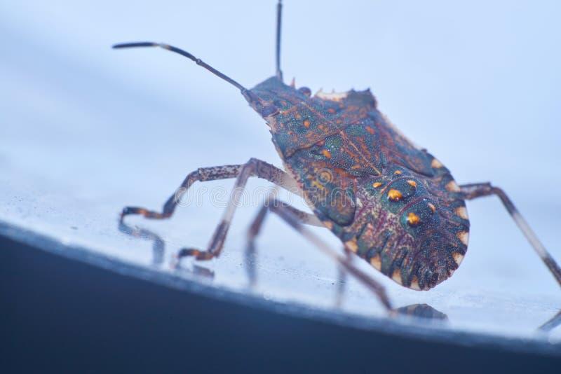 Macrofotography коричневых halys Halyomorpha stinkbug, инвазионный вид от Азии стоковое фото rf