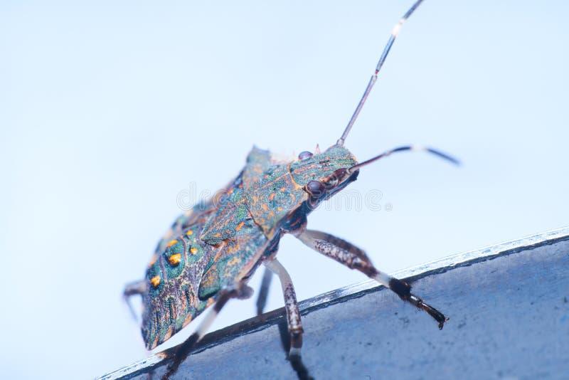 Macrofotography коричневых halys Halyomorpha stinkbug, инвазионный вид от Азии стоковые изображения rf