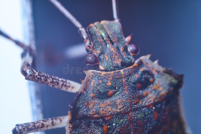 Macrofotography коричневых halys Halyomorpha stinkbug, инвазионный вид от Азии стоковая фотография