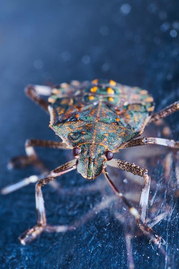 Macrofotography коричневых halys Halyomorpha stinkbug, инвазионный вид от Азии стоковое изображение