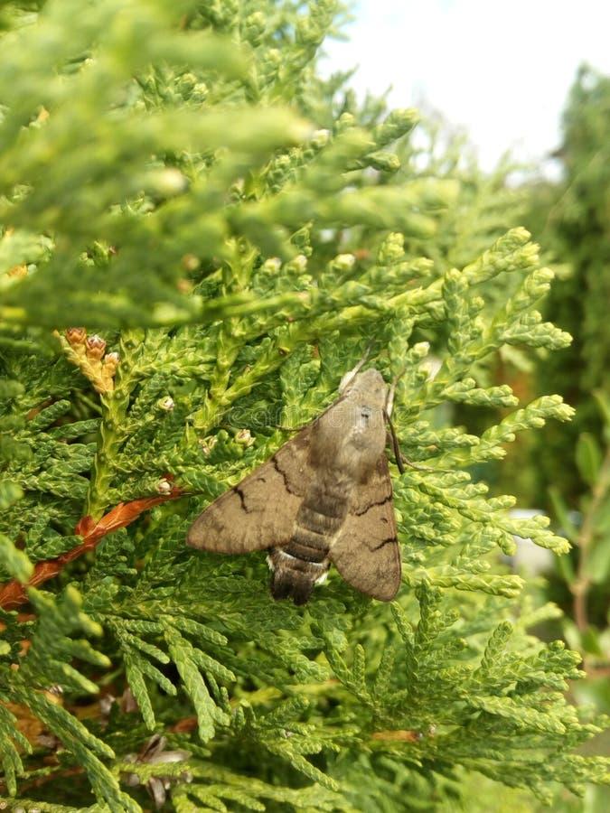 Macroglossum stellatarum butterfly royalty free stock images