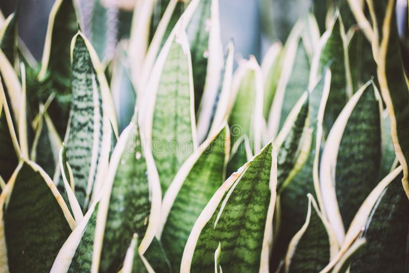 Sansevieria bowstring hemp bogenhanf leaves royalty free stock photos