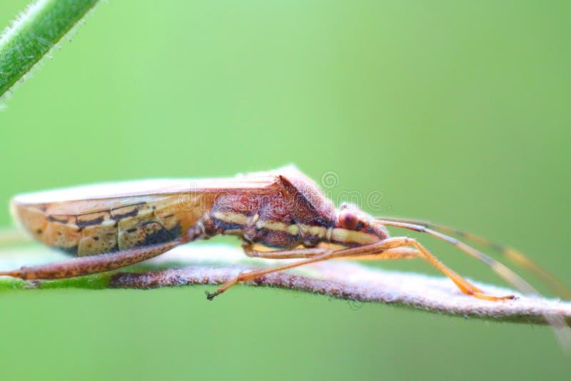 Macroinsecteiland op een tak op een natuurlijke groene bladachtergrond stock afbeelding