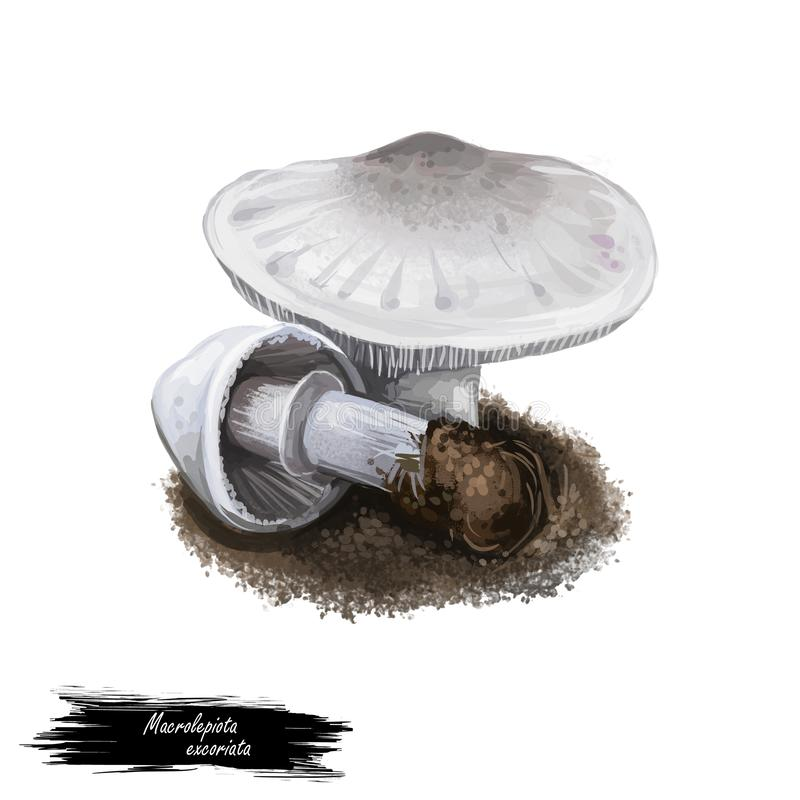 Macrolepiota excoriata mushroom digital art illustration. Agaricus excoriatus-ingrediens, vegetabiliska familjen av Agaricaceae vektor illustrationer