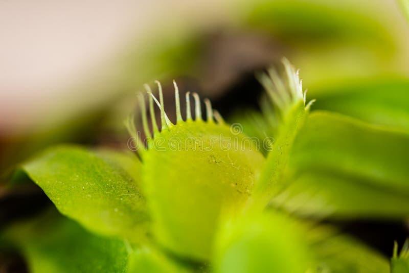 Macromening van de monden van een Venusflytrap muscipula van Dionaea royalty-vrije stock afbeeldingen