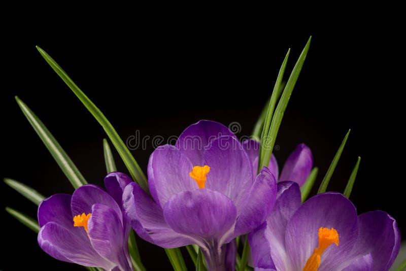 Macromening van een mooie krokusbloem op zwarte De achtergrond van de lente stock foto's